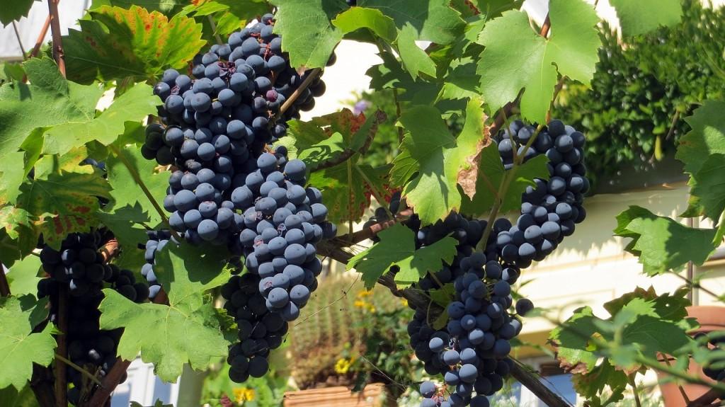 Weintrauben vor der Verarbeitung. Hier sind sie noch garantiert vegan. Bild: pixabay.com